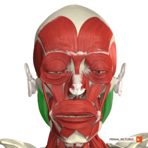 injectables and skin rejuvenation treatments primal pictures image masseter muscles